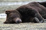 Alaskan Brown Bear (Ursus arctos) resting in Southeast, AK