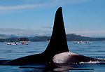 Orca whale (male), sea kayakers, Johnstone Strait, British Columbia