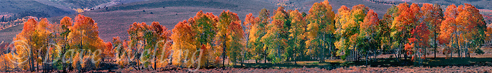 920000003 panoramic view of fall-colored deciduous trees in summers meadow near bridgeport california
