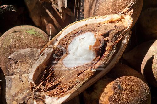 Aldeia Baú, Para State, Brazil. Babassu nut broken open to show the pulp.