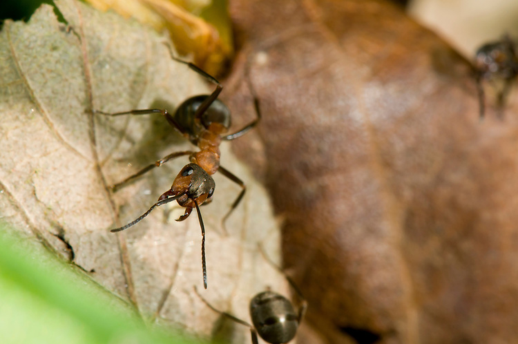 Wood ant, Formica rufa, portrait. Sapperton, Gloucestershire. UK.
