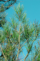 Calabrian Pine Pinus brutia (Pinaceae) HEIGHT to 20m<br /> Closely related to Aleppo Pine, but leaves are broader (1– 1.5mm), darker green and stiffer. Twigs are reddish-yellow or greenish. Cones spread out from the twig and are never deflexed. Occurs in similar places, but further east, in Calabria, Crete, Cyprus and Turkey, where it can form open forests on coastal hills. Planted here occasionally