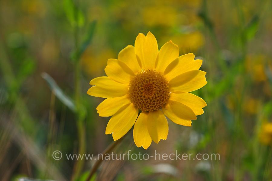 Saat-Wucherblume, Saatwucherblume, Wucherblume, Glebionis segetum, Chrysanthemum segetum, Corn Marigold