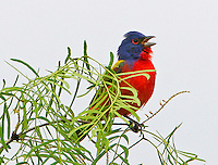 Adult male painted bunting singing from top of mesquite tree