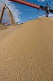 Soja a granel durante la cosecha,  Salto, Buenos Aires, Argentina