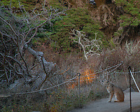 Bobcat, Point Lobos