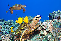 green sea turtles, Chelonia mydas, being cleaned by yellow tangs, Zebrasoma flavescens, Kona Coast, Big Island, Hawaii, USA, Pacific Ocean