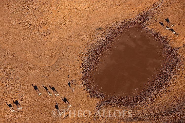 Namibia, Namib Desert, Namibrand Nature Reserve, aerial of herd of springbok (Antidorcas marsupialis) around natural water hole in desert