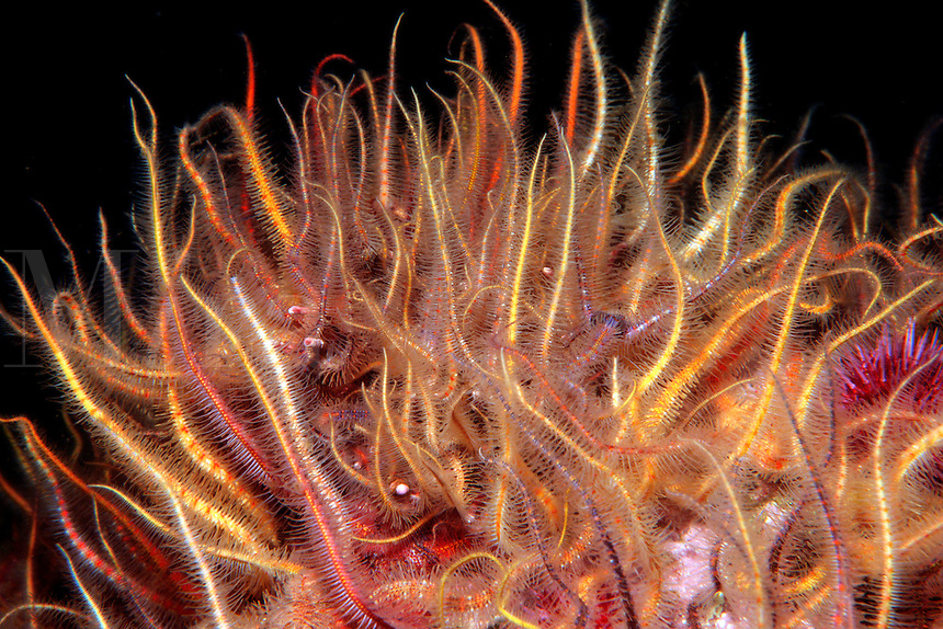 Spiny brittle star, Ophiothrix spiculata, filters plankton as it passes by in the current, California, Eastern Pacific Ocean