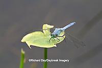 06593-00910 Eastern Pondhawk dragonfly (Erythemis simplicicollis) male perched near wetland, Marion Co., IL