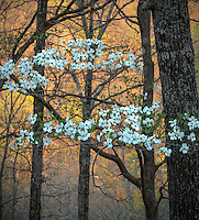 Devil's Den State Park, Arkansas:<br /> Flowering dogwood (Cornus florida) witn evening colors of the hardwood forest - early spring. Ozark's Lee Creek Valley