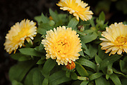 Calendula officinalis bon bon apricot flower during the summer months at  Prescott Park in Portsmouth, New Hampshire USA