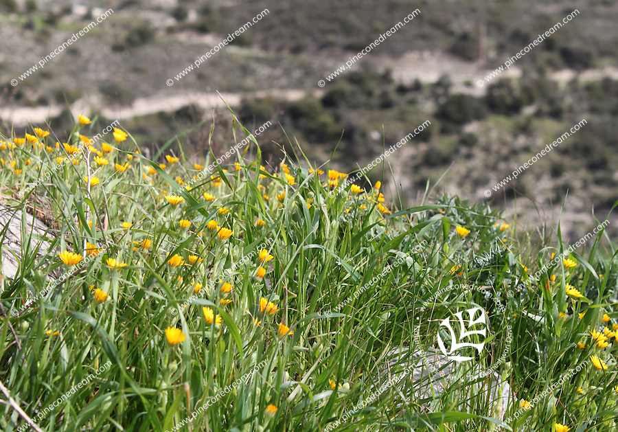 Small yellow flowers and grass grown on hill pineconedream wild flowers and grass glancing over a mountain cliff in cyprus mightylinksfo