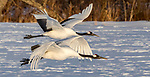 Japan, Hokkaido, red-crowned or Japanese crane (Grus japonensis) in flight