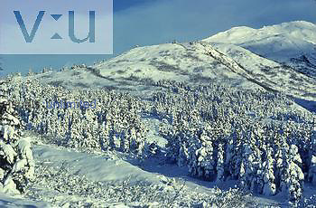 Winter coniferous forest or taiga and timberline, Alaska USA.