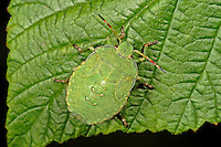 Grüne Stinkwanze, Larve, Nymphe, Jungtier, Palomena prasina, common green shield bug, stink bug, larva, larvae, nymph, Baumwanzen, Pentatomidae, stink bugs