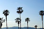 Palm trees in Venice, California