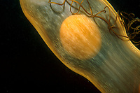 A shark egg case, also known as a mermaid's purse, the yolk clearly visibile, remains attached to a strand of kelp until the shark will develop and break free