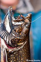 Flyfishing for splake