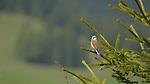 Red-backed Shrike (Lanius collurio), Alps, Italy