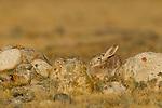 Tolai Hare (Lepus tolai) hiding amongst rocks, Sarychat-Ertash Strict Nature Reserve, Tien Shan Mountains, eastern Kyrgyzstan