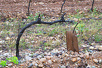 A syrah vine trained in Cordon Royat on the typical sandy pebbly soil in this part of Crozes Hermitage. Domaine Gilles Robin, Les Chassis, Mercurol, Drome, Drôme, France, Europe