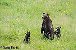 Grizzly bear sow and young cubs on hind legs. Yellowstone National Park, Wyoming.