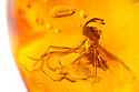 Scavenger Fly {Scatopsidae sp.} preserved in amber.