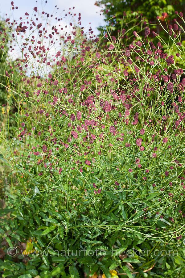 Großer Wiesenknopf, Groß-Wiesenknopf, Sanguisorba officinalis, Synonym Sanguisorba  major, Sanguisorba  maior, Great Burnet