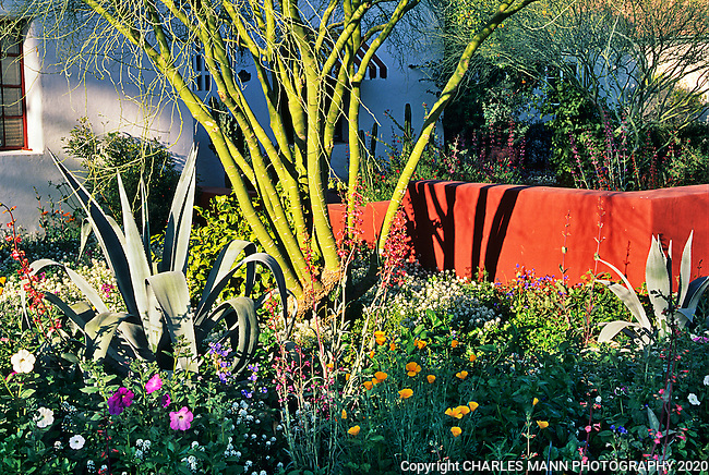 Phoenix garden designer Carrie Nimmer converted an ordinary front yard into a dramatic scene by adding a low wall and coloring it brick red to contrast with the adjacent palo verde tree and spiky agave.