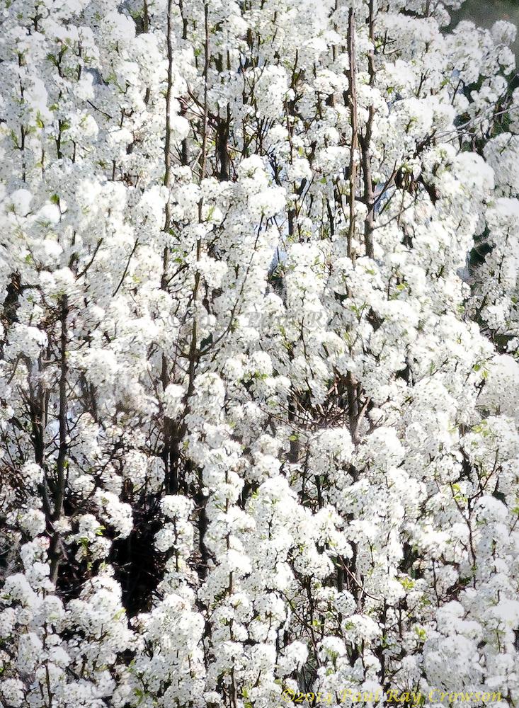 Bradford Pear Tree Blossoms