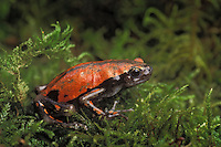 African Snake-Necked Frog. aka Crevice Creeper..Ghana & Ivory Coast. Captive..Phrynomerus microps.