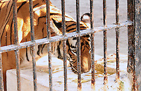 Tiger drinking water in the zoo cage and glancing out through the bars