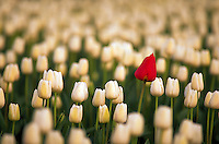 Field of white tulips with standout red blossom.