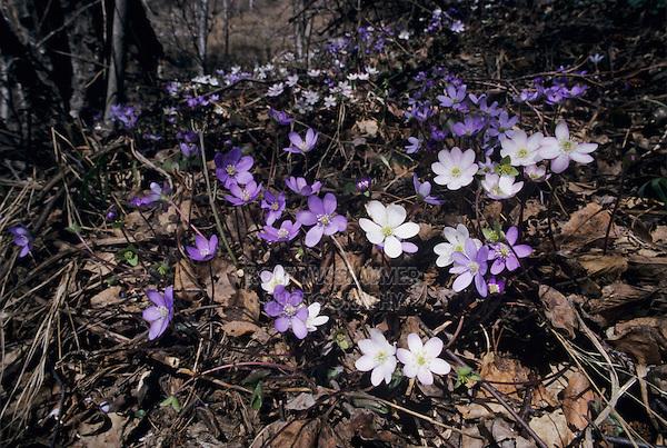 Liverleaf, Hepatica nobilis, blooming color variations, Wallis, Switzerland, March 1998