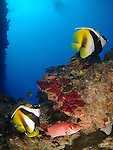 Siaes Tunnel, Palau -- Reef scene with masked bannerfish.