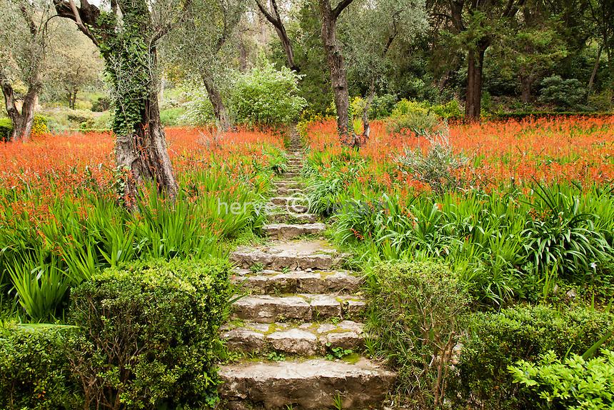 """France, Alpes-Maritimes (06), Menton, jardin Serre de la Madone :.sous-bois d'oliviers et tapis de chasmanthes en fleurs (Chasmanthe bicolor). Et l'escalier dit """"lescalier de l'Ange' car il mêne à une petite statue d'ange présent dpuis les années 60"""