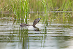 Pied-billed grebe calling