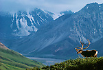 A caribou bull poses on a ridge in Alaska's Denali National Park. Herds of caribou roam throughout the park.