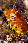 Acanthemblemaria aspera, Roughhead blenny, Florida Keys