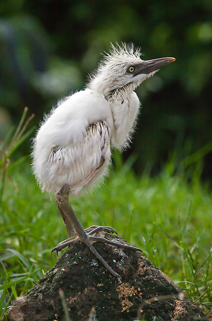 A baby CATTLE EGRET (Bubulcus ibis) in PETULU where many of the birds nest - UBUD, BALI