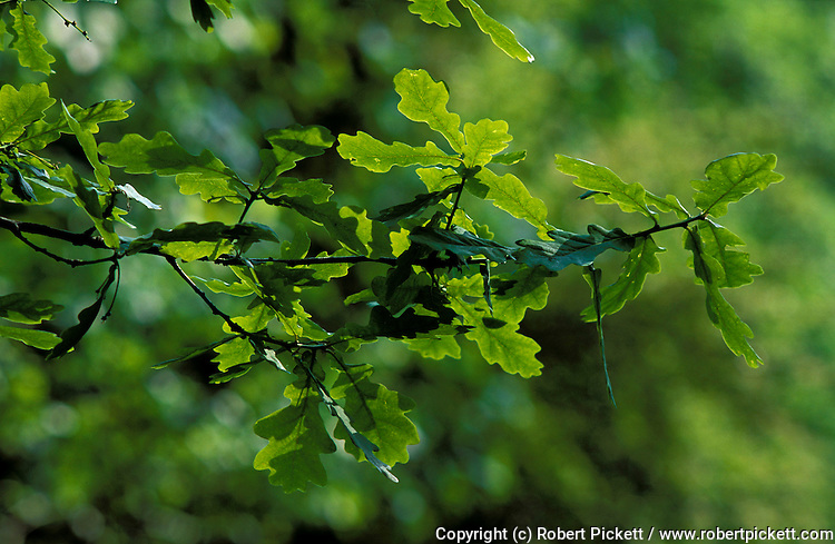 English Oak Leaves, Quercus robur, leaf, backlight, . .United Kingdom....