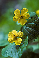 Darkwoods Violet or Round-leaved Violet, Evergreen Yellow Violet (Viola orbiculata) found on forest floor in Western Washington.  Spring. .