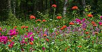 Silene chalcedonica Maltese Cross (syn Lychnis chalcedonica Orange flowering perennial in Alaska Botanical Garden, Anchorage