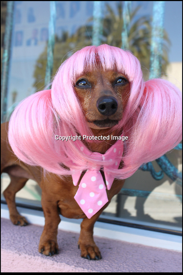 BNPS.co.uk (01202 558833)<br /> Pic: Cushzilla/BNPS<br /> <br /> ***Please use full byline***<br /> <br /> A barking-mad designer has launched a range of wigs that turn pets into pop princesses including Katy Perry, Lady Gaga, Britney Spears and even Dolly Parton.<br /> <br /> Dogs and cats can also be dressed up as dragons, pilots, wizards or Prince Charming thanks to Leah Workman's wacky creations.<br /> <br /> The 40-year-old from Los Angeles spotted the trend of dressing up pets while studying in Japan - and later teamed up with husband Hiroshi Hibino to launch company Cushzilla.<br /> <br /> The pair instantly set tails wagging around the internet with their bonkers brand of pet fashion, which also features Sharon Osbourne and Sid Vicious wigs and cow and tiger costumes.<br /> <br /> Leah imports the high quality handmade wigs while costumes come from famous Japanese pet clothing designer Takako Iwasa.<br /> <br /> She says the most popular wig is the Lady Gaga, while the pilot's outfit tops the popularity charts in the costume department.<br /> <br /> Her own cats Jitters and Justus model many of the products on the company's website.