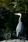 Blue Heron gazing into the rising sun on a Canadian Shield lake.