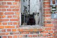 Katze, Hauskatze, Haus-Katze, schwarze Katze sitzt in Fenster, Felis silvestris catus, domestic cat, housecat, cat