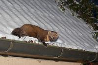 Baummarder im Winter bei Schnee auf einem Hausdach, Baum-Marder, Edelmarder, Edel-Marder, Marder, Martes martes, European pine marten