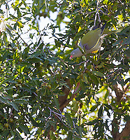 African green pigeons are actually quite pretty.