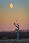 A full moon rises at dusk over a dead tree in the Bosque del Apache National Wildlife Refuge, New Mexico